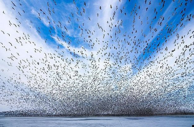 Bird-Flock-In-Blue-Sky